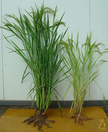 お米の一粒一粒大きさにも驚かされます
