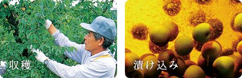 写真:梅酒の収穫と漬け込み