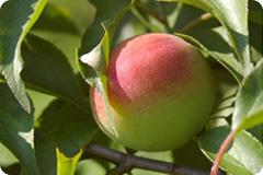 写真:木に実る梅