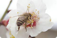 写真:梅の花にとまるみつばち