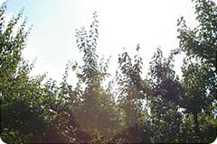 写真:茂る梅の木