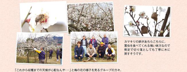 写真:「これから収穫までの天候が心配なんや・・・」と梅の花の様子を見るグループの方々。