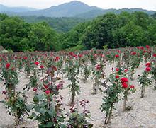 山間に位置する薔薇園