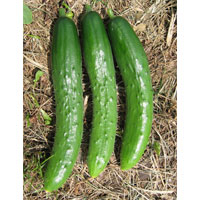 ナチュラルライフステーション 国産・自然農法種子 若緑地這きゅうり 約10粒
