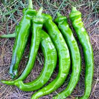 ナチュラルライフステーション 国産・自然農法種子 甘トウガラシ 約30粒