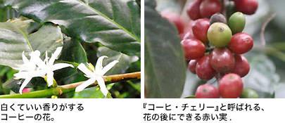 白くていい香りがするコーヒーの花。/花の後にできる赤い実(コーヒー・チェリー)。