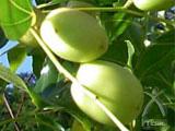 棗(なつめ)の木について
