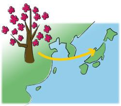 中国から日本へ梅の木がもたらされたイメージイラスト